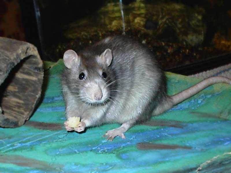 rat-hand