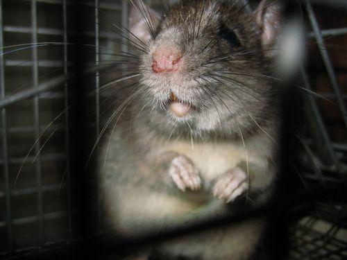 rat_removal